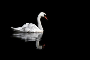 White swan on black water